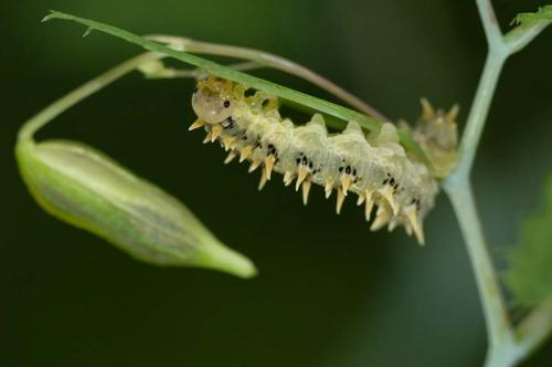 Caterpillar on Himalayan Balsam